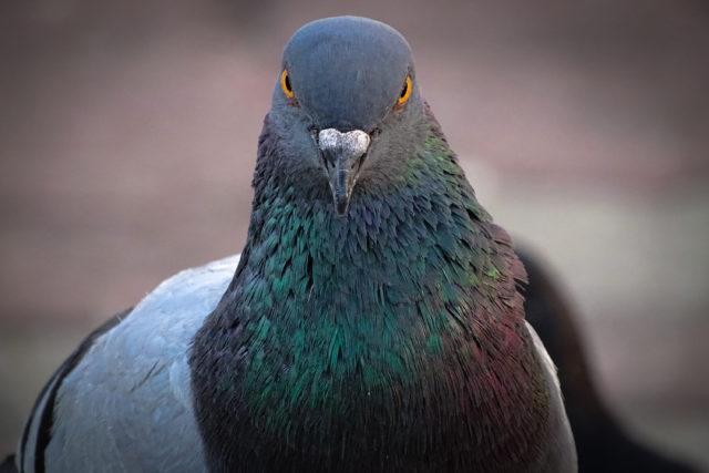 pigeons deal with uncertainty